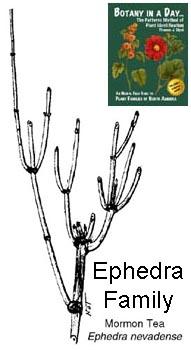 Ephedraceae — The Plant List